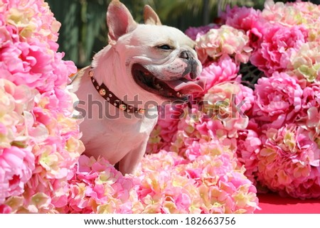 Smiling french bulldog in sunshine and pink blooming bouquet