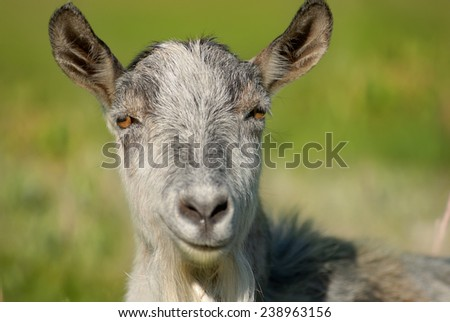 smiling goat, capra, animal,  - stock photo