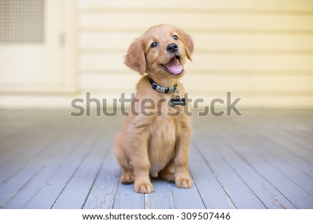 Smiling Golden Retriever Puppy sitting on front porch - stock photo