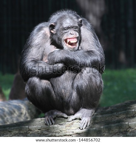 Smiling happy Chimpanzee. - stock photo