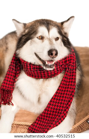 Smiling husky with a red scarf