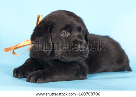 Smiling labrador retriever black puppy with orange bow on his neck lying on a blue background