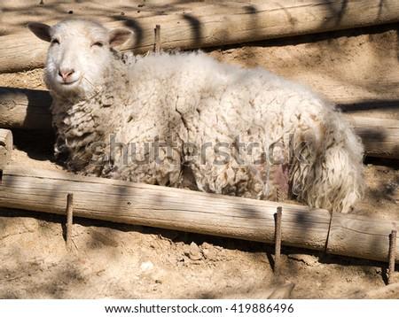 Smiling sheep lying sunbathing on the Farm - stock photo