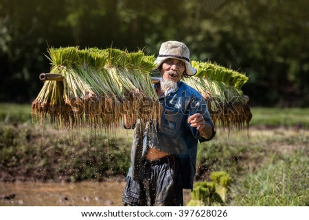 Smiling Thai farmer grow rice in the rainy season. He is carrying the rice sprouts on the shoulder.they are soaked with water and mud to be prepared for planting. wait three months to harvest crops. - stock photo