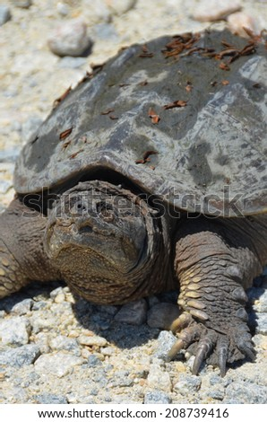 Smiling Turtle, a snapping turtle on the gravel road in Bombay Hook State Park.  - stock photo