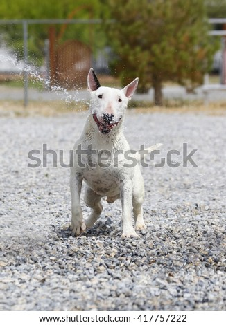 Smiling white miniature bull terrier with a stream of water across his face - stock photo