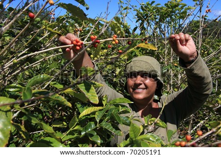 Smiling woman picking coffee beans on a sunny day - stock photo