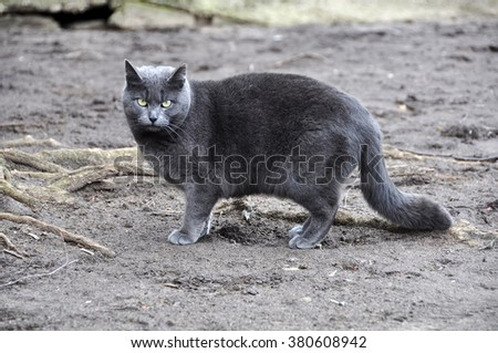 smoky gray cat for a walk - stock photo
