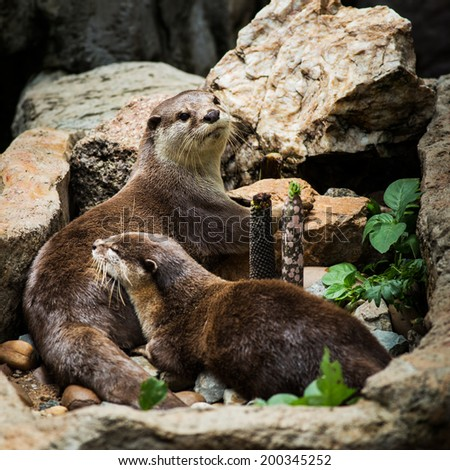 Smooth coated Otter - Lutrogale perspicillata - after a swim in ice water - Hyperactive - stock photo