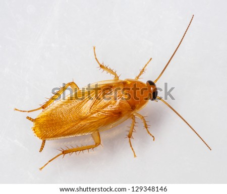 Smooth cockroach - Symploce pallens isolated on white