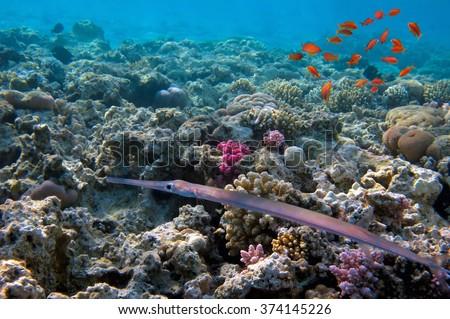 Smooth Cornetfish (Fistularia commersonii). - stock photo