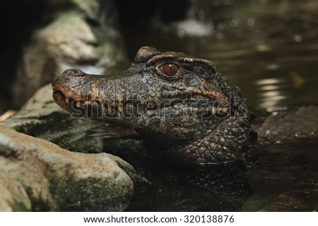 Smooth-fronted caiman (Paleosuchus trigonatus), also known as Schneider's dwarf caiman. Wild life animal.  - stock photo