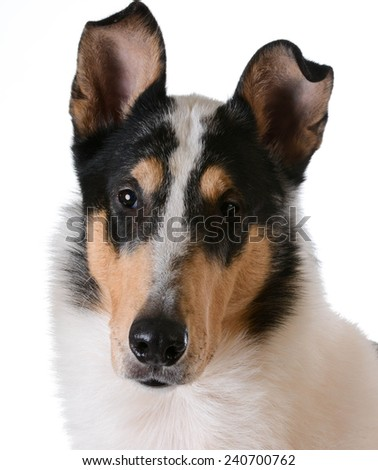smooth haired collie portrait on white background - stock photo