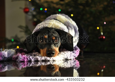 Smooth haired Dachshund with a scarf at Christmas