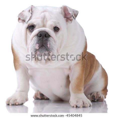 Smooth-haired English Bulldog isolated on white
