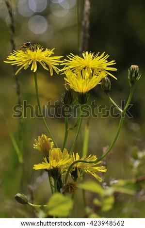 Smooth Hawksbeard - Crepis capillarisGrassland Wild Flower with Hoverfly - stock photo