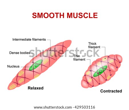 cardiac muscle cell stock images, royalty-free images & vectors, Human Body