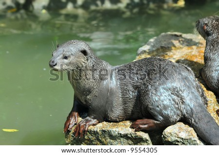 Smooth Otter