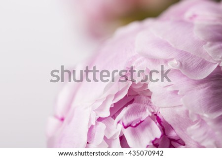 Smooth pink petals peony flowers close up on a white background