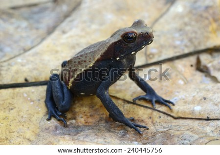 Smooth-sided toad (Rhaebo guttata) - stock photo