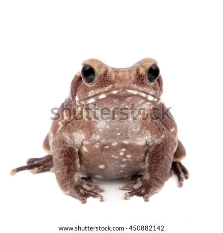 Smooth-sided toad, Rhaebo guttata, isolated on white background - stock photo