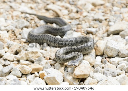 Smooth Snake - stock photo