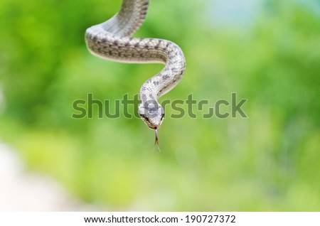 Smooth Snake close up - stock photo