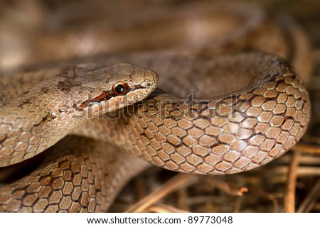 Smooth snake, Coronella austriaca, between pine tree leaves.