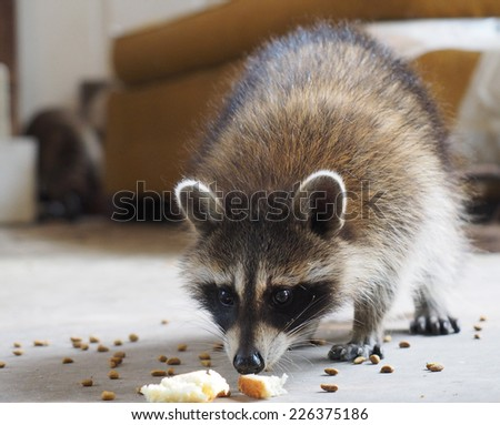 Snacking Raccoon - stock photo