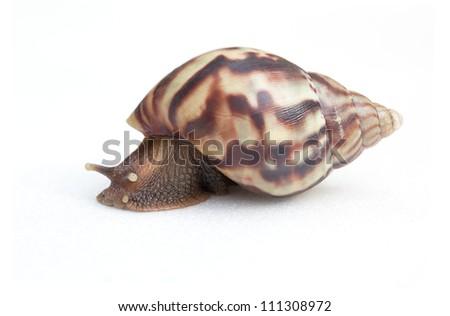 Snail (Amphidromus) - stock photo