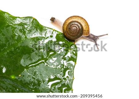 Snail and green leaf isolated on white background - stock photo