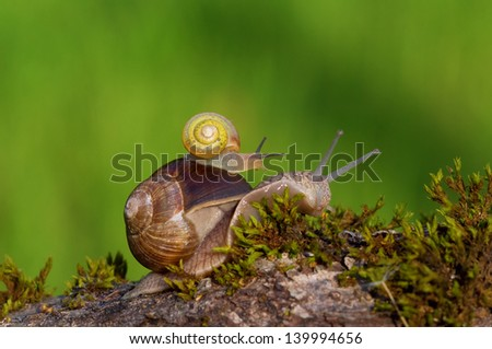 Snail carrying a small snail on her back - stock photo