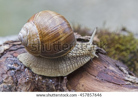 Snail climbing over a lying tree in the forest - stock photo