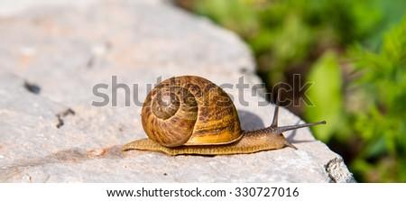 snail crawling along a wall - stock photo