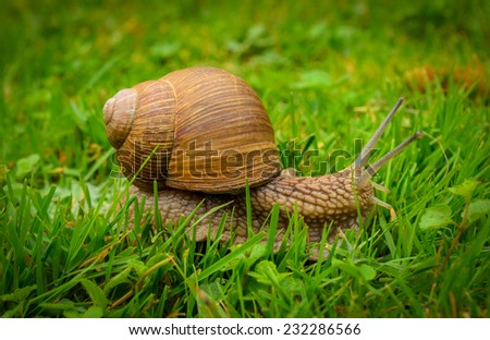snail crawling on the grass - stock photo