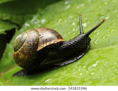 Snail crawling on the green leaf - stock photo