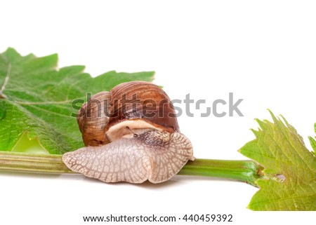 snail crawling on the vine with leaf white background - stock photo