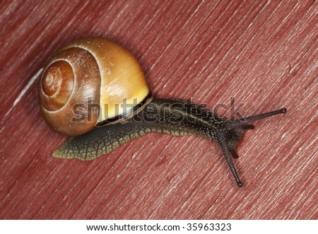 Snail crawling on wooden door. Extreme close-up. - stock photo