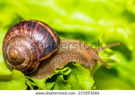 Snail eating and crawling on lettuce leaf  - stock photo