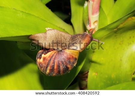 snail, gastropoda, thailand, asia - stock photo