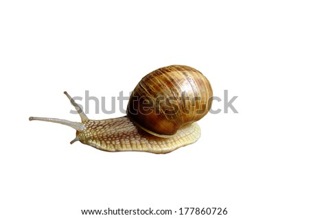 Snail is a common name that is applied most often to land snails, terrestrial pulmonate gastropod molluscs. - stock photo