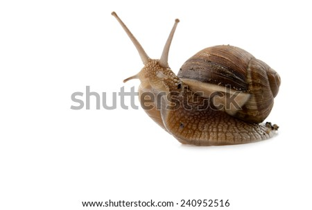 snail isolated on a white background  - stock photo