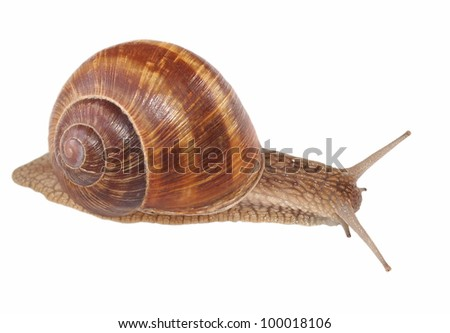 snail isolated on white background, Helix pomatia,  species of land snail - stock photo