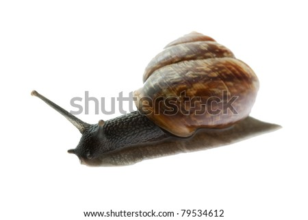 Snail isolated on white background, macro focused on head