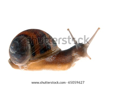 Snail isolated over white curiously looking at the camera. - stock photo