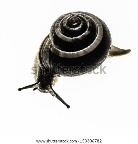 Snail Macro on white translucent - stock photo