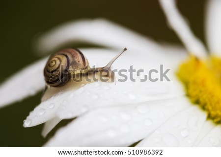 Snail moving upwards on a daisy flower