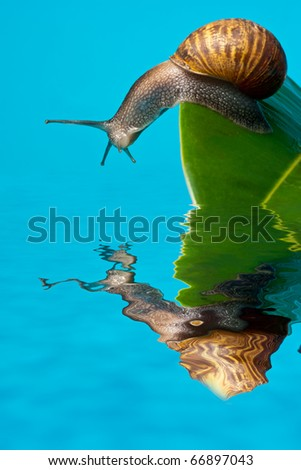 Snail on leaf reflected on water - stock photo