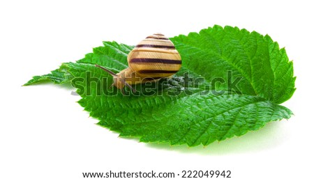 Snail on the leaf, isolated on white - stock photo