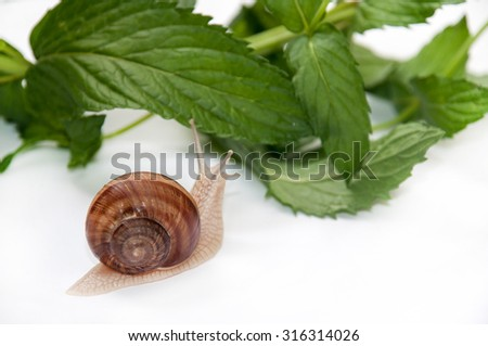 Snail on the leaves of mint. - stock photo
